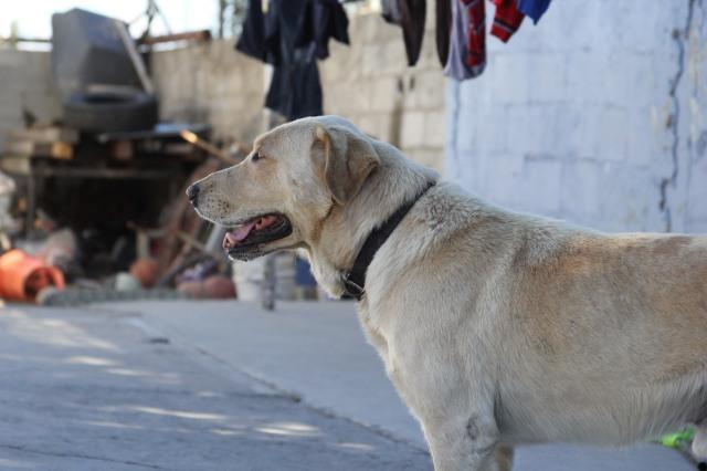 The loyal guard dog